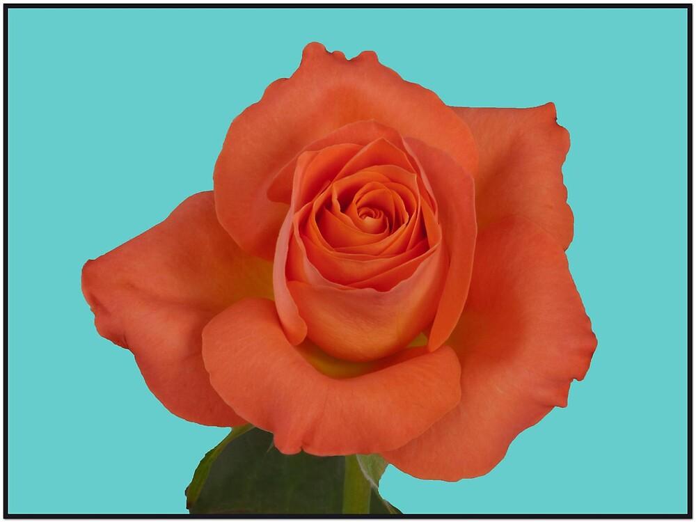 orange red rose by Ted  van Eck