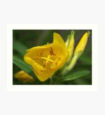 Evening primrose Art Print