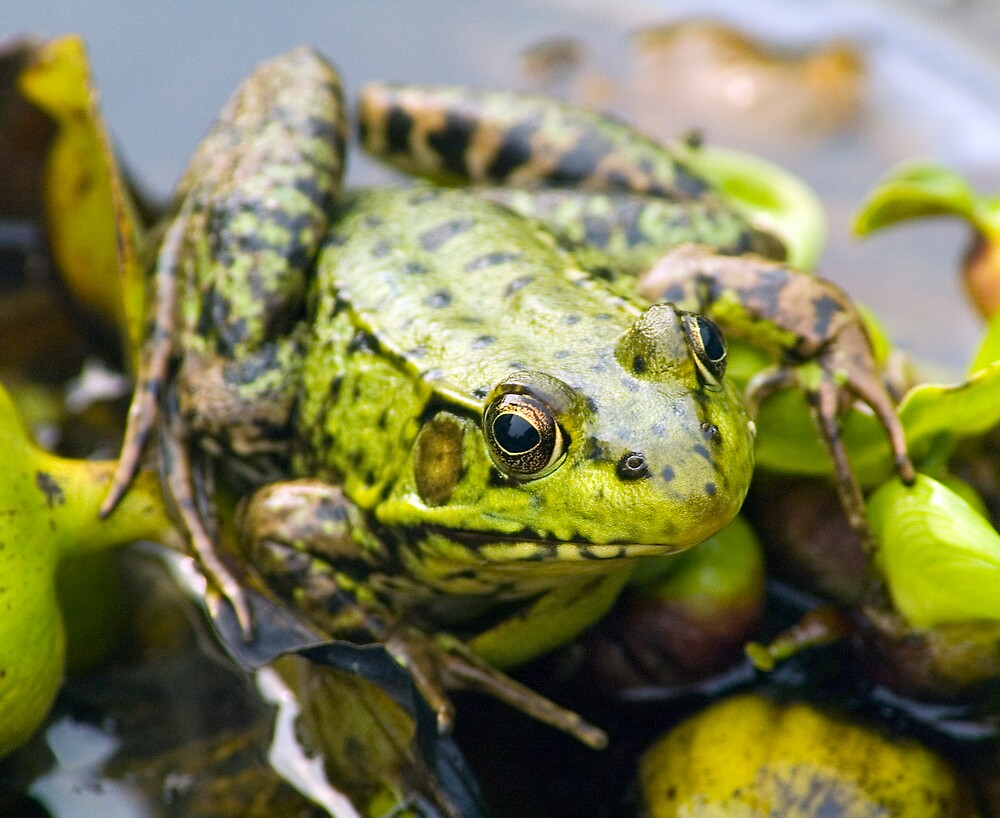 Leopard frog by Roxane Bay