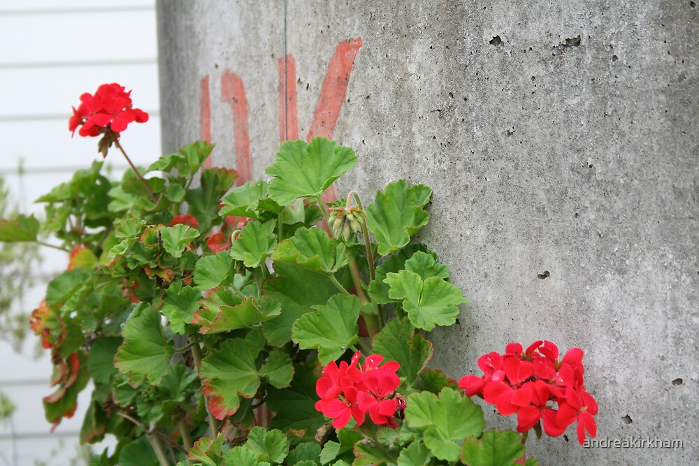 red geraniums by andreakirkham