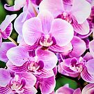 Orchid Cascade by Jessica Manelis