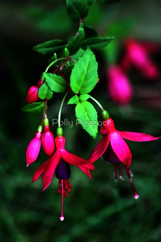 Flowering Fuchsia   by Polly Peacock