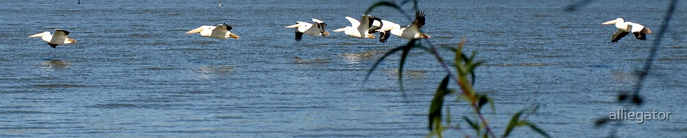 Pelicans by alliegator