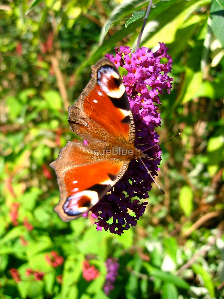 peacock butterfly on buddleia by sueblue