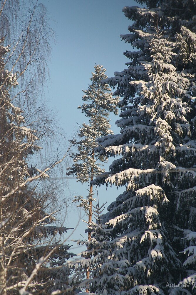 Winter trees (My forest) by Antanas