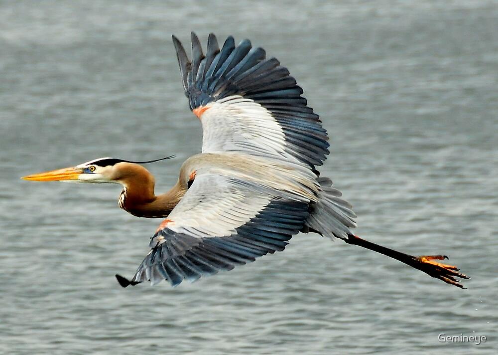 blue heron, wildlife by Gemineye