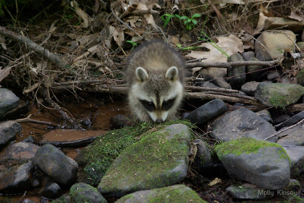 Baby Racoon at the Creek by Molly  Kinsey