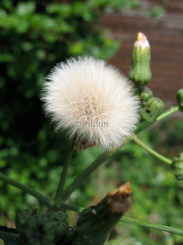 dandelion gone to seed by sueblue