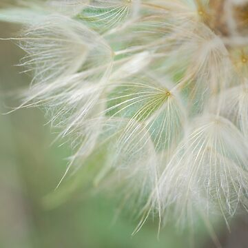 Dandelion by crackedpale