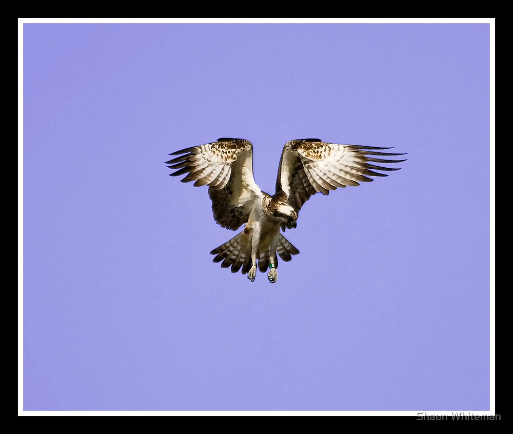 Osprey hovering at the Loch of Lowes by Shaun Whiteman