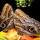 Owl Butterflies by May Lattanzio