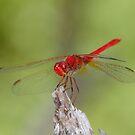 Scarlet Percher Dragonfly by Andrew Trevor-Jones