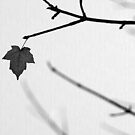 A Maple Leaf in Black and White by liyafendi