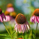 """Echinacea""  aka ""Cone Flowers"" by Arthur ""Butch"" Petty"