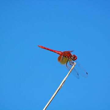 Dance of the Red-Veined Dropwing Dragonfly by zuluspice