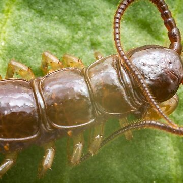 Cryptopid Centipede Theatops californiensis by ezumeimages