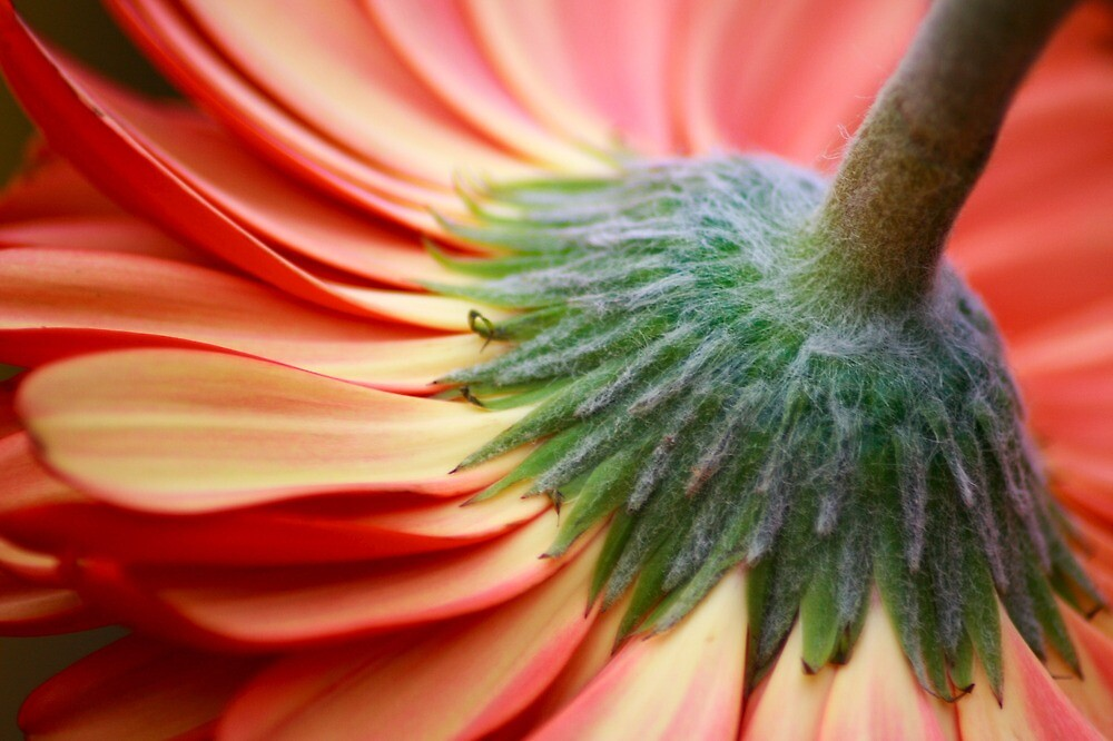 Gerbera Daisy by Christa Binder