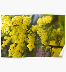 mimosa in bloom Poster
