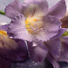 Freesias and raindrops by Joyce Knorz