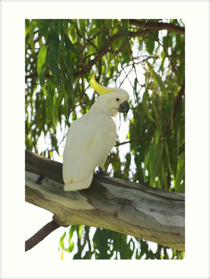 Sulphur-crested Cockatoo by Melva Vivian
