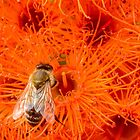 Honey Bee in the flowering gum flowers by DPalmer