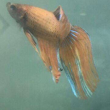Blau the Male Betta Fish by silverdragon