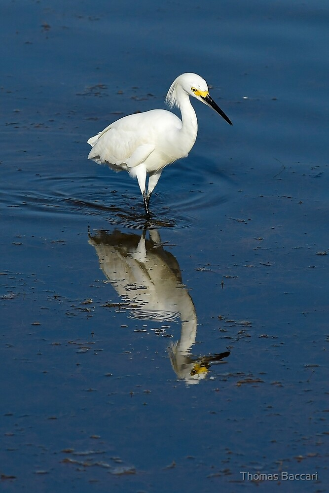 Snowy Egret and her reflection by TJ Baccari Photography