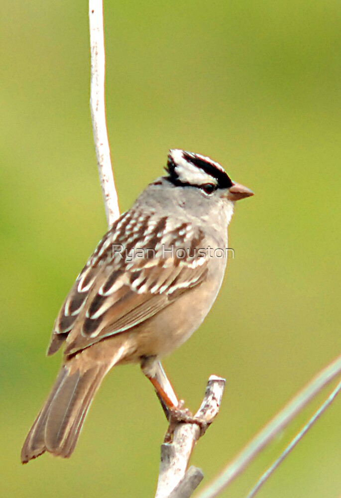 White Crowned Sparrow by Ryan Houston