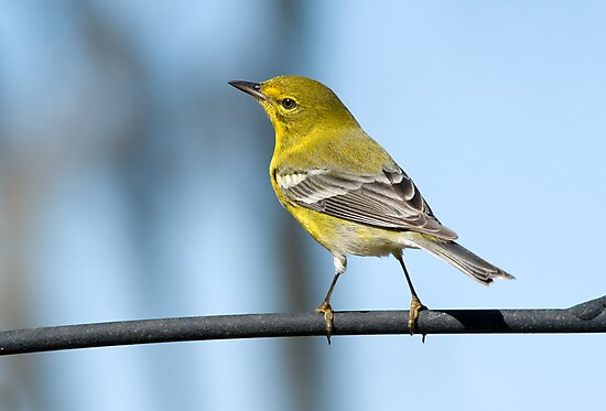 Pine Warbler by Bonnie T.  Barry