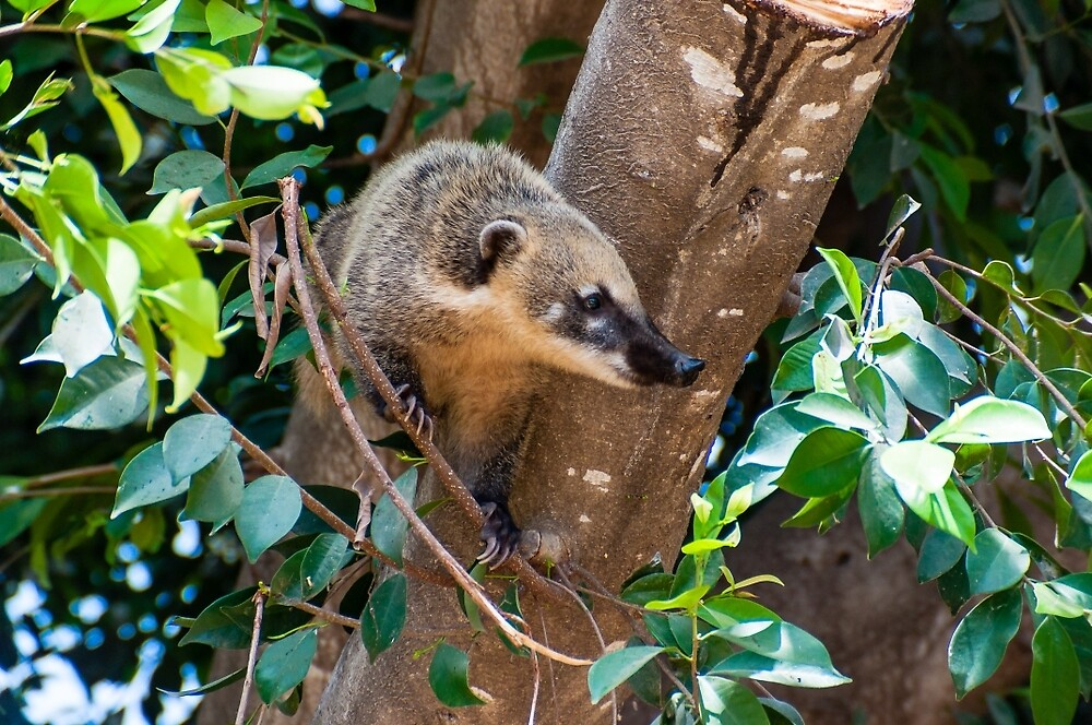 Coati on the tree by Yevgeni Kacnelson