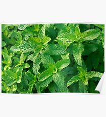 Peppermint herb Poster