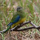 TURQUOISE PARROT  (female)   Best viewed in large format  by Leslie-Ann