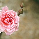 Pink Rose by Melissa Holland