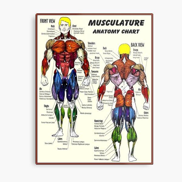 MUSCULATURE : Body Building Anatomy Chart Print Metal Print
