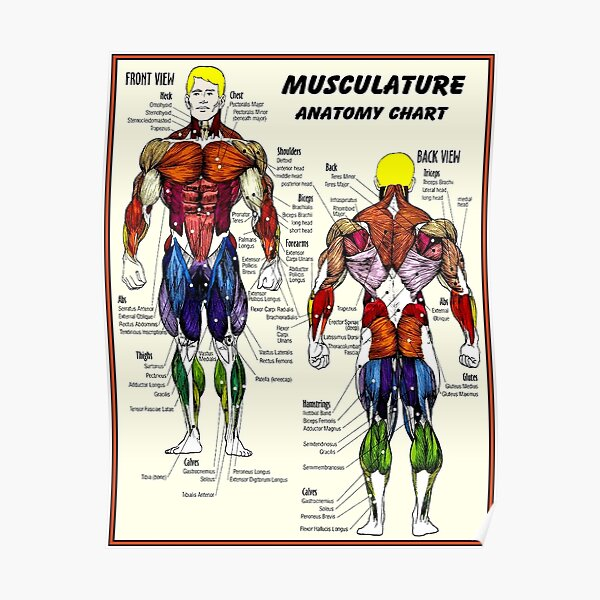 MUSCULATURE : Body Building Anatomy Chart Print Poster