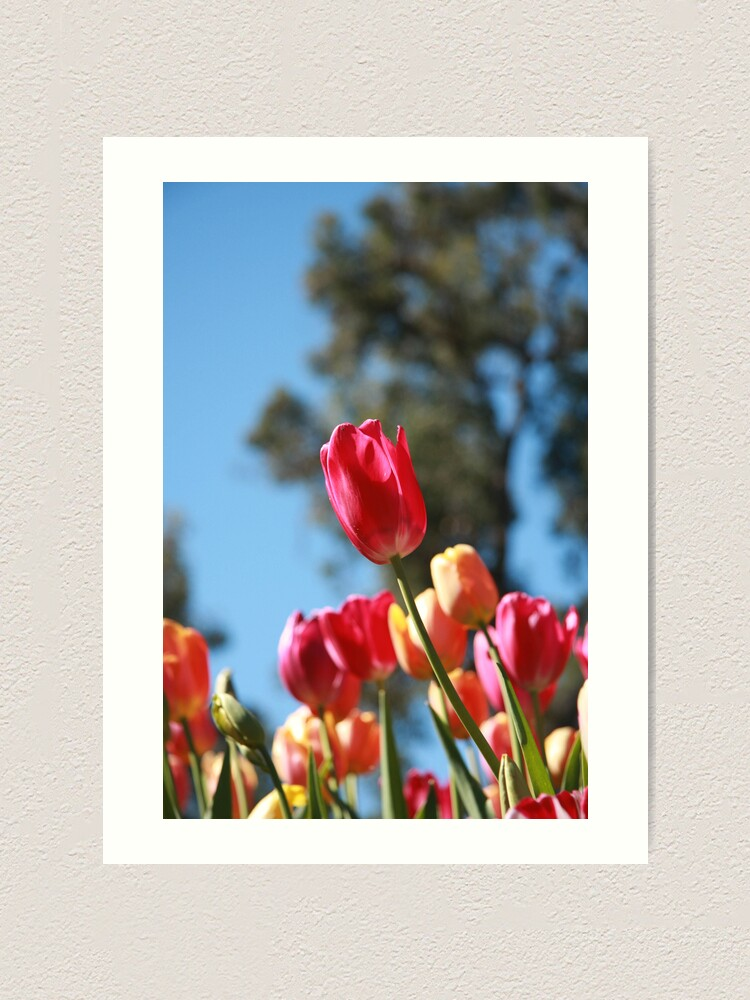 Alternate view of Tulips and Araluen Art Print