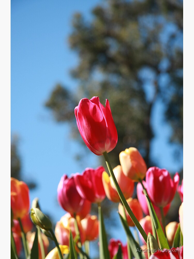 Tulips and Araluen by mistered