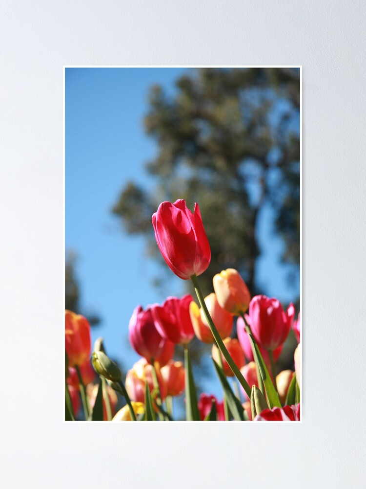 Alternate view of Tulips and Araluen Poster