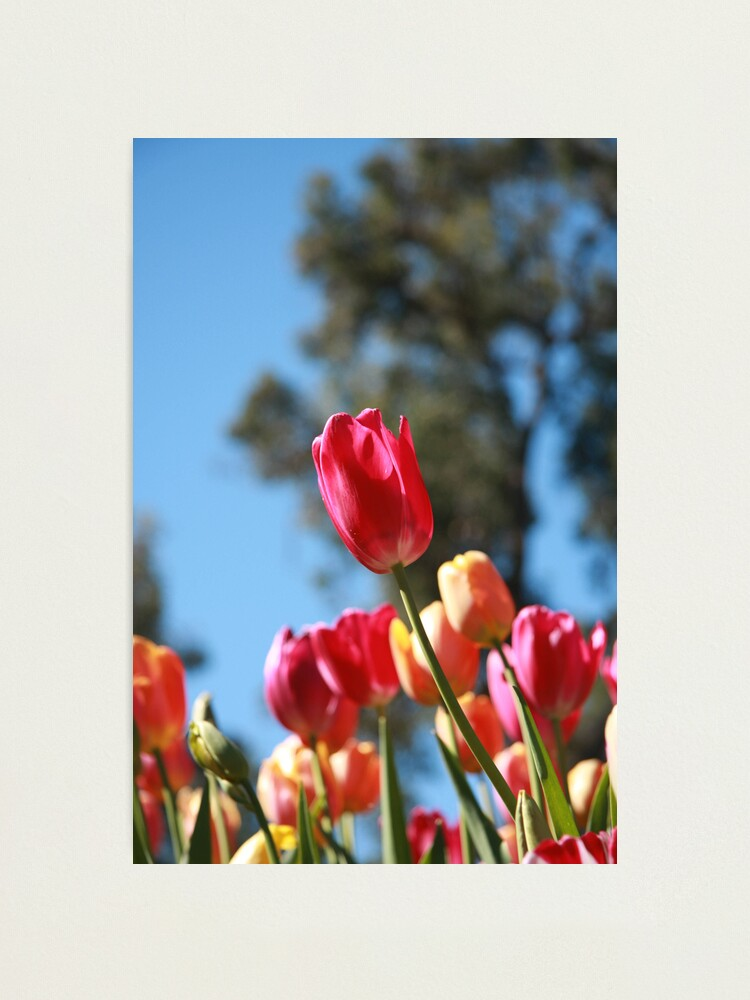 Alternate view of Tulips and Araluen Photographic Print