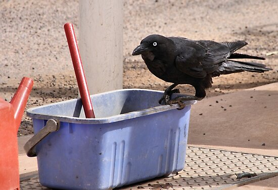 """""""Yes, I'll Clean Your Window."""" Australian Crow  by Carole-Anne"""
