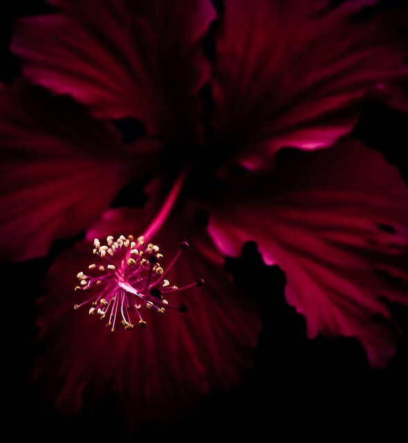 Simply Red - Hibiscus by Benjamin Fox