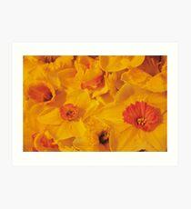 Golden Daffodils Art Print