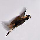 Black Cockatoo In Flight  by EOS20