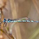 Blue Dragon Fly by Ian Berry