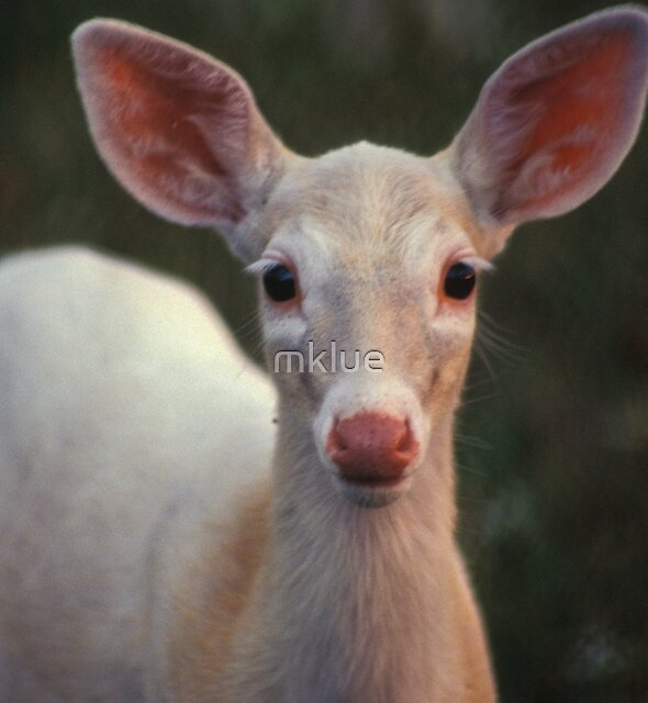 White Fawn, Romulus, NY by mklue