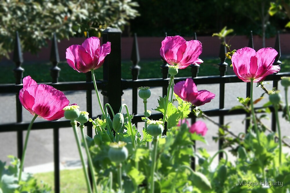 Summer Poppies by Maggie Hegarty