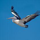 Pelican in flight by johnrf