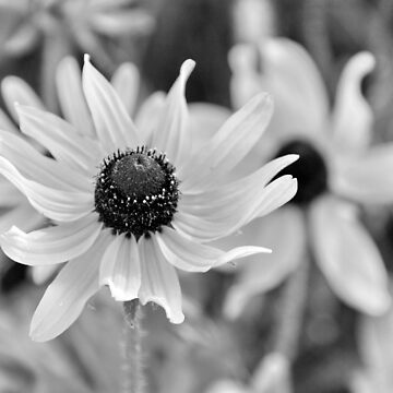 Rudbeckia -Ottawa, Ontario by Destined2see
