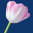 Life Is Beautiful Pink Tulip by hurmerinta