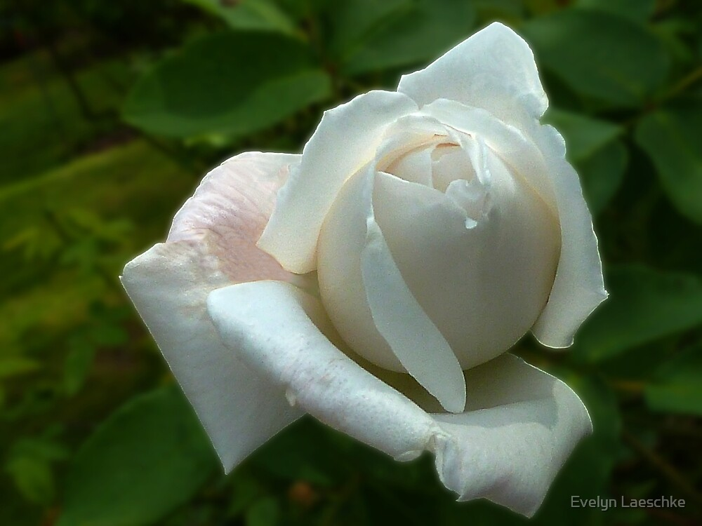 White Rose by Evelyn Laeschke